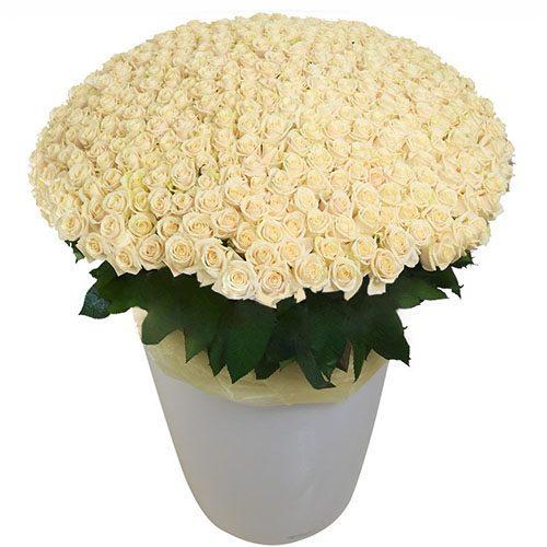 301 біла троянда у великому вазоні фото